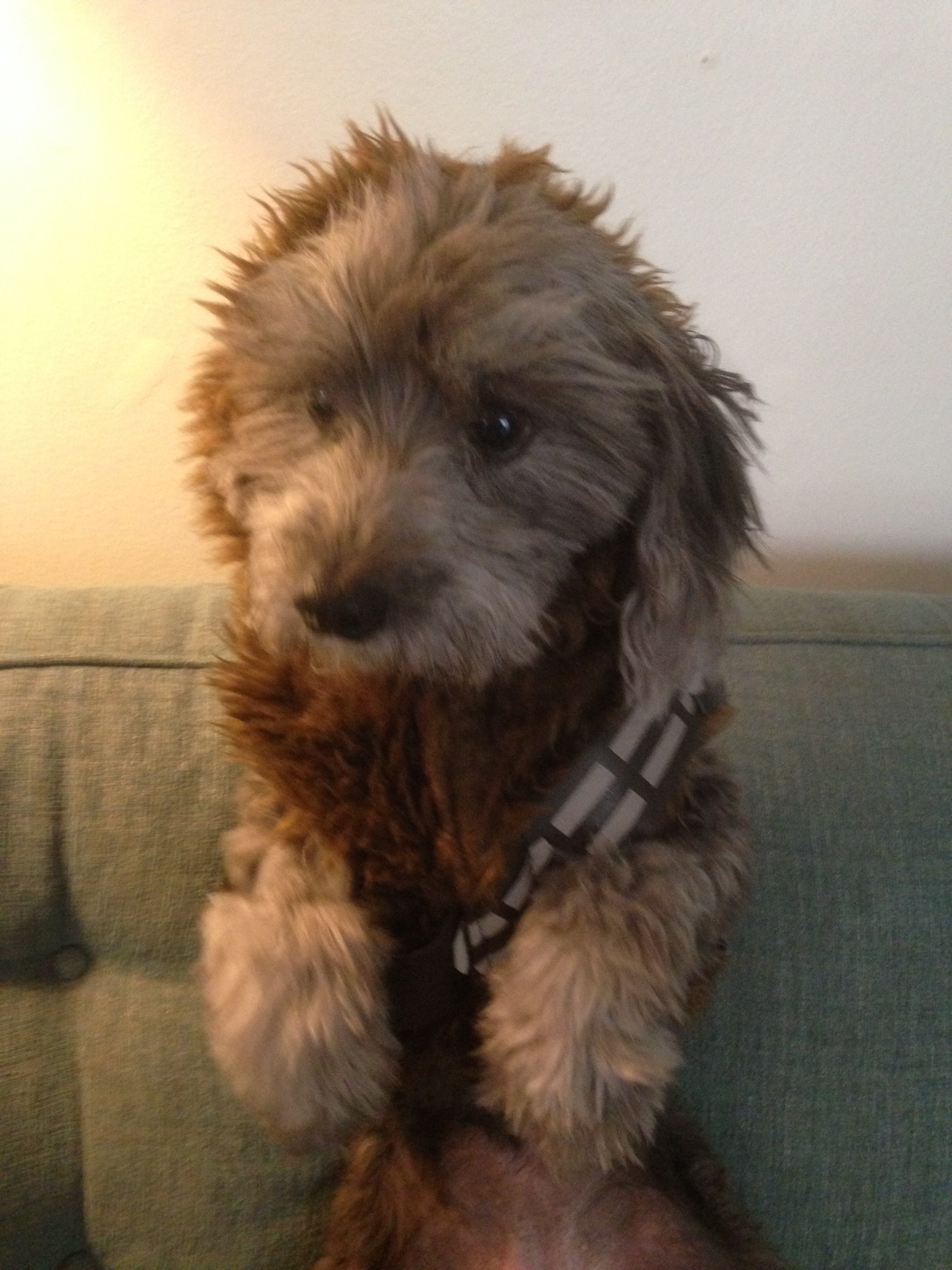 Miss Muppet as Chewbacca